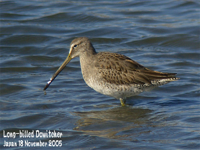 オオハシシギ 1 Long-billed Dowitcher 1_c0071489_23191551.jpg
