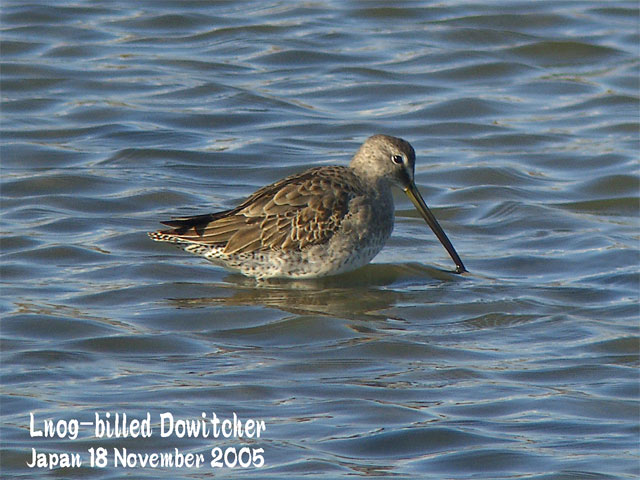 オオハシシギ 1 Long-billed Dowitcher 1_c0071489_23223650.jpg
