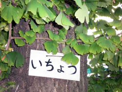 公孫樹_b0019611_18192413.jpg