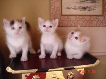 ターキッシュバン子猫4週目_e0033609_13444050.jpg