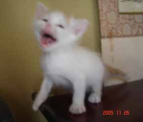 ターキッシュバン子猫4週目_e0033609_22125236.jpg