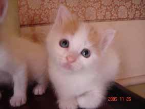 ターキッシュバン子猫4週目_e0033609_2214327.jpg
