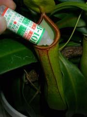 食虫植物ウツボカズラ_b0054727_1394493.jpg