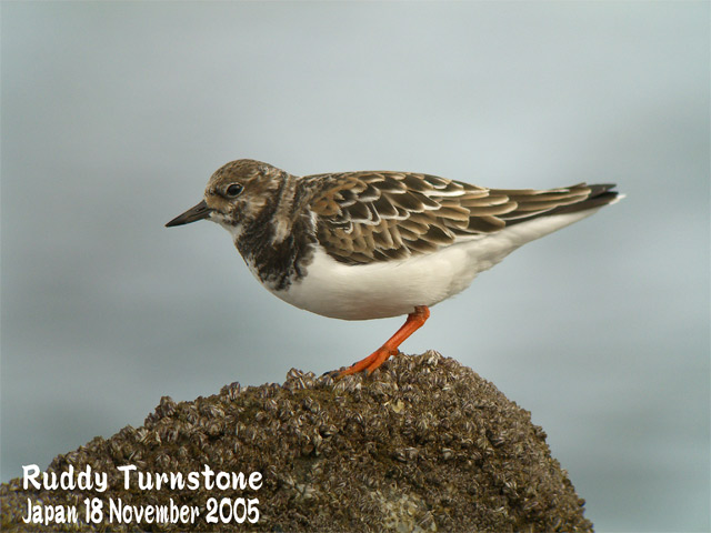 キョウジョシギ 1    Ruddy Turnstone 1_c0071489_22535763.jpg