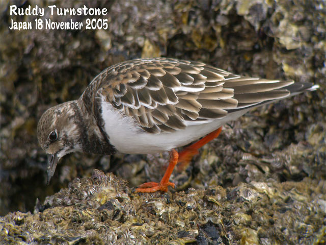 キョウジョシギ 1    Ruddy Turnstone 1_c0071489_22542316.jpg
