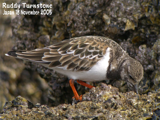 キョウジョシギ 1    Ruddy Turnstone 1_c0071489_22543236.jpg