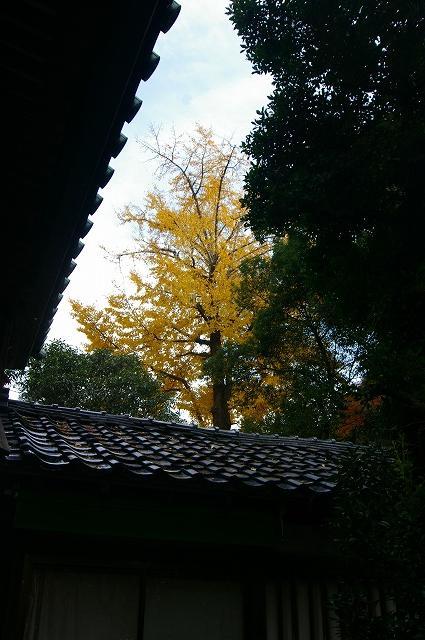 尾崎神社の大イチョウ_d0043136_20294254.jpg