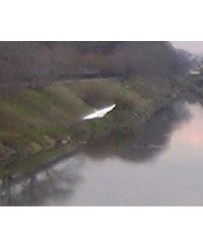 大落古利根川採集白い鳥だなぁと_d0057843_17274892.jpg