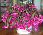 シャコバサボテン、見事に咲きました。_d0026905_13154161.jpg