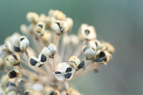 ニラの花に実がついた_e0027083_1595914.jpg