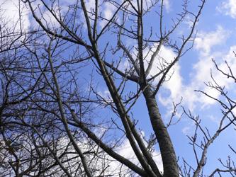 冬空と桜の木_c0069048_7275645.jpg