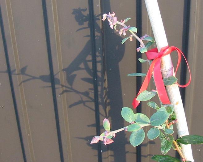 花が咲いたブライトブルーとデライト _f0018078_833964.jpg