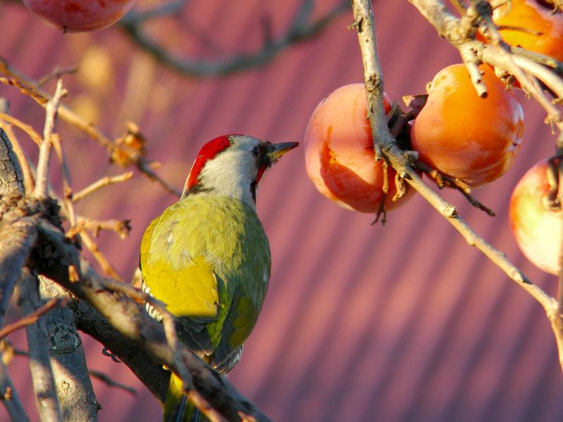 柿の実をつつくアオゲラ_b0024798_11595447.jpg