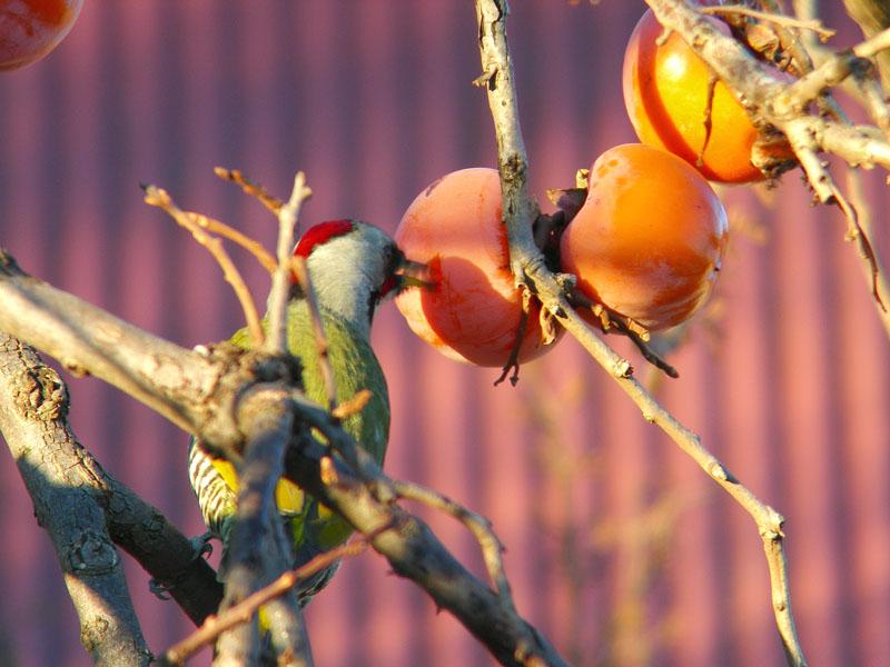 柿の実をつつくアオゲラ_b0024798_1201584.jpg
