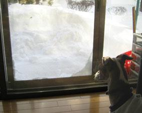 雪とイタグレとアビ_a0009397_18413561.jpg