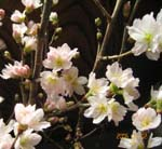 一足早い桜が咲いて・・・_d0026905_1940222.jpg