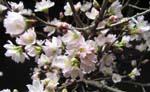 一足早い桜が咲いて・・・_d0026905_19402223.jpg