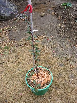 2006年冬のブルーベリーの様子_f0018078_14453621.jpg
