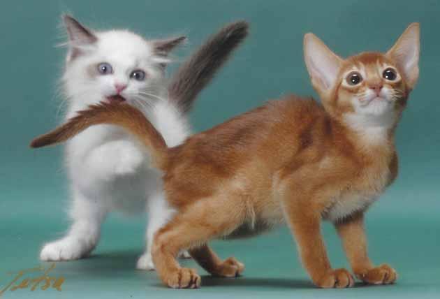 アビシニアン子猫誕生_e0033609_2144476.jpg