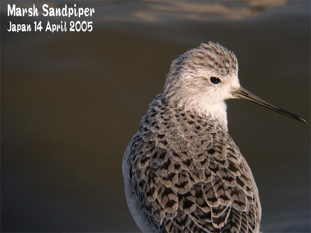 コアオアシシギ   Marsh Sandpiper_c0071489_21414511.jpg