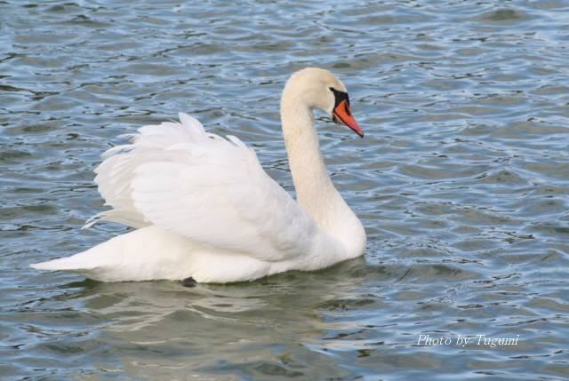 新春の白鳥_f0037633_1929952.jpg
