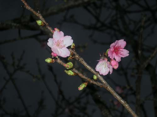 1.9日もう、桜が咲いていますよ!!_c0070933_2149412.jpg