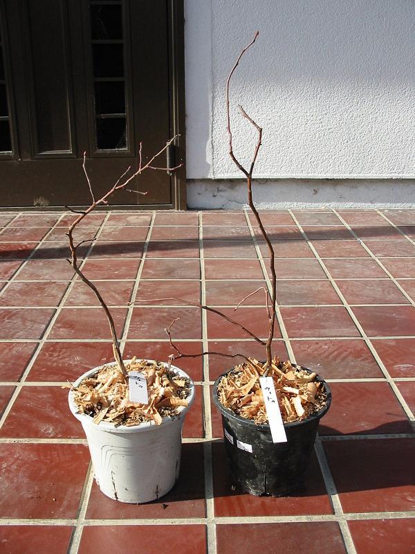 1月9日から室内栽培を始めた苗 _f0018078_229141.jpg