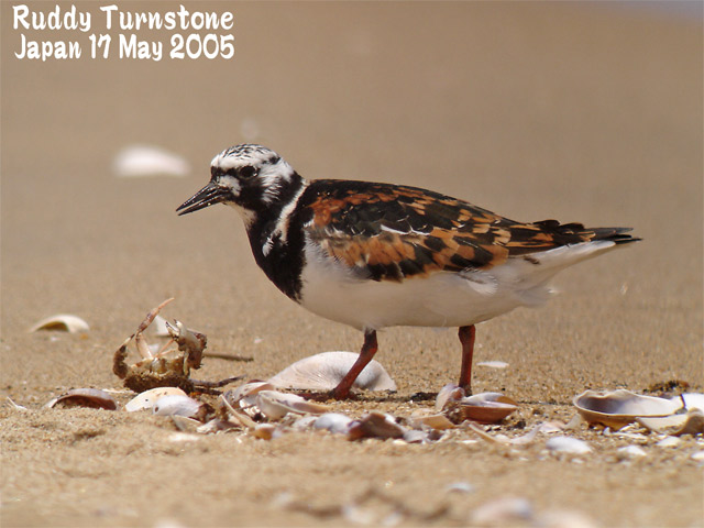 キョウジョシギ 1    Ruddy Turnstone 1_c0071489_23122347.jpg
