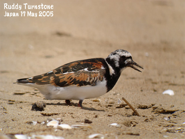 キョウジョシギ 1    Ruddy Turnstone 1_c0071489_23123213.jpg