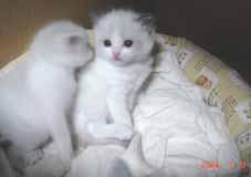 ラグドール子猫3週目_e0033609_16415750.jpg