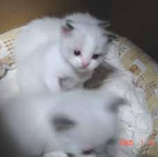ラグドール子猫3週目_e0033609_16423020.jpg