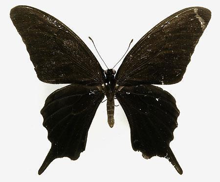 真っ黒なアゲハ_b0052564_1039386.jpg