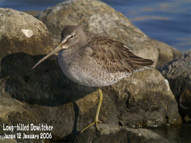 オオハシシギ 1 Long-billed Dowitcher 1_c0071489_23274850.jpg