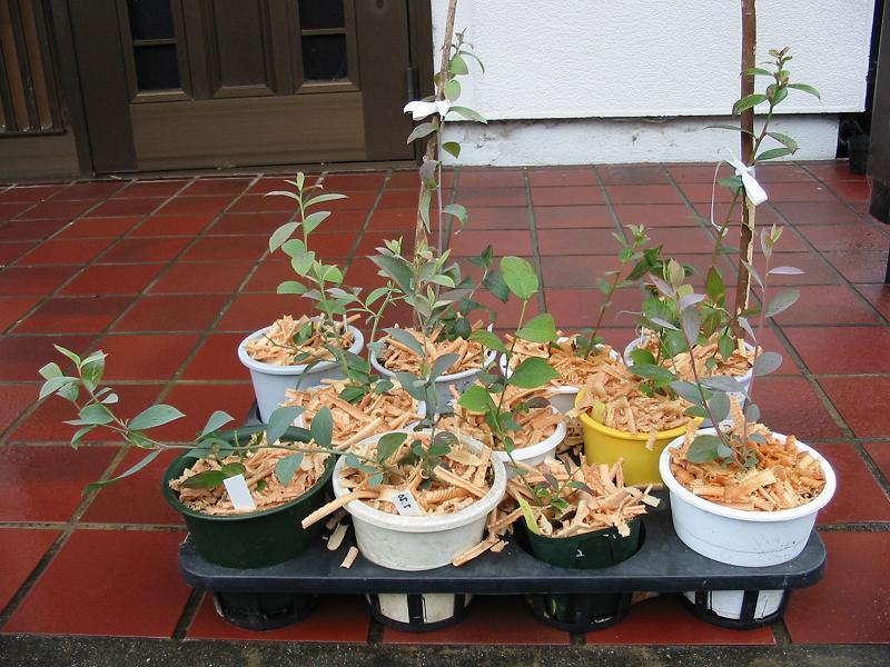 室内栽培のブルーベリー苗のその後_f0018078_11253695.jpg