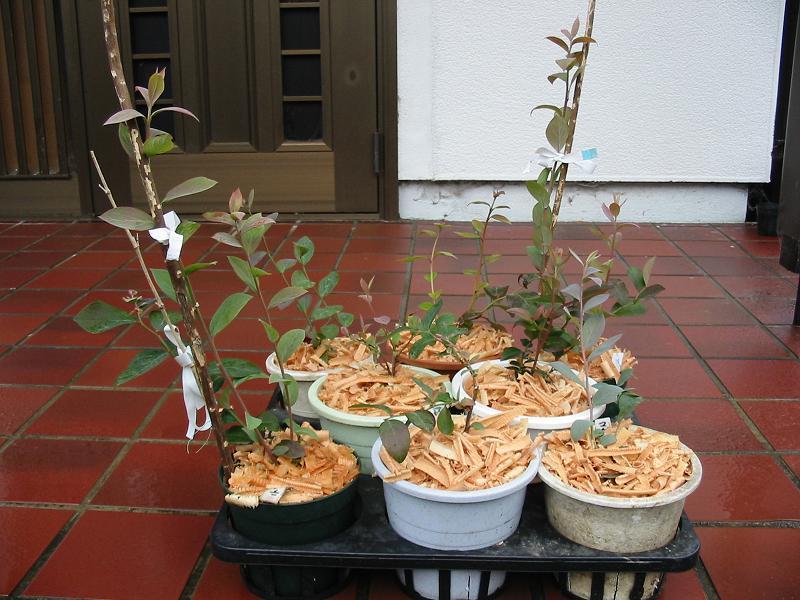 室内栽培のブルーベリー苗のその後_f0018078_1125542.jpg