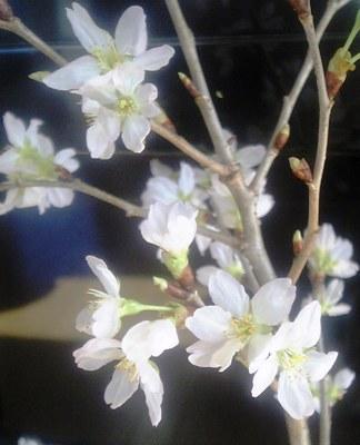 桜が咲きました_c0026627_1251326.jpg