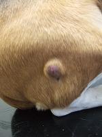 皮膚腫瘍あれこれ_b0059154_1429362.jpg