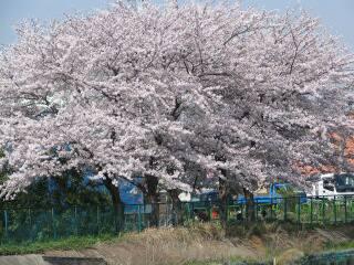 2005 桜_f0033598_19585053.jpg