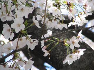 2005 桜_f0033598_19594127.jpg