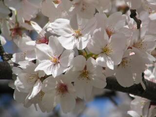 2005 桜_f0033598_19595991.jpg