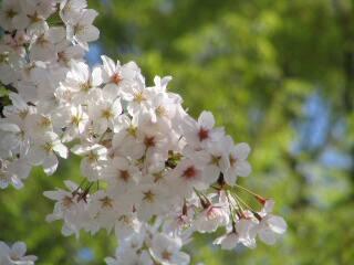 2005 桜_f0033598_2001643.jpg