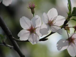 2005 桜_f0033598_2003425.jpg