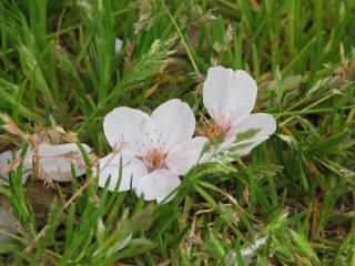 2005 桜_f0033598_201124.jpg
