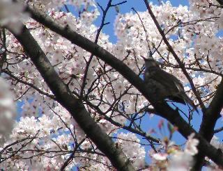 2005 桜_f0033598_2024036.jpg