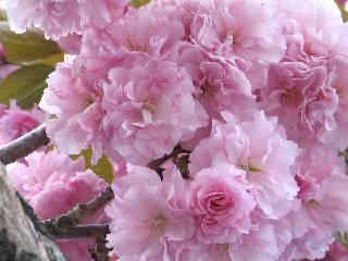 2005 八重桜_f0033598_20274474.jpg