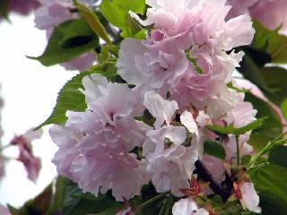 2005 八重桜_f0033598_2027784.jpg