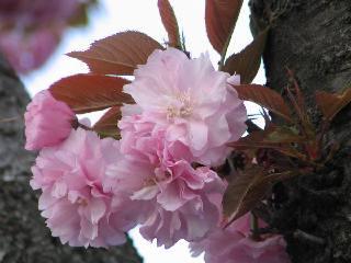 2005 八重桜_f0033598_20281793.jpg
