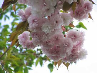 2005 八重桜_f0033598_2028190.jpg