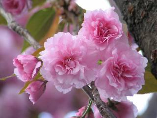 2005 八重桜_f0033598_20283557.jpg