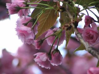 2005 八重桜_f0033598_20285225.jpg